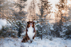 Dog breed Australian Shepherd outdoors in the winter, snow, Stock Images