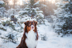 Dog breed Australian Shepherd outdoors in the winter, snow, Royalty Free Stock Image
