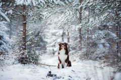 Dog breed Australian Shepherd outdoors in the winter, snow, Royalty Free Stock Photos