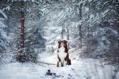 Dog breed Australian Shepherd outdoors in the winter, snow, Stock Photos