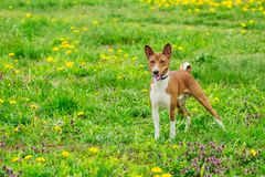 Beautiful dog of the Basenji breed in the grass. Dog of the breed Basenji brown color on the green juicy summer grass Stock Image