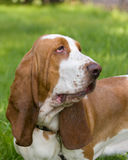 Dog of breed baset-haund Royalty Free Stock Photos