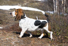 Dog breed basset-hound. In the forest Royalty Free Stock Image