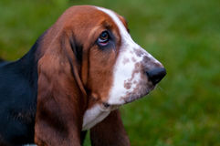 Dog breed basset hound is on the green grass. Dog breed basset hound with sadness in her eyes against the green grass royalty free stock image
