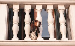 Dog breed Basset Hound, standing on the balcony and pushing his head out of the balaustro. Pets concept stock images