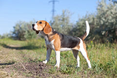 Dog of breed Beagle Royalty Free Stock Images