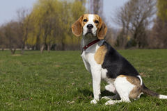 Dog breed beagle. The dog breed beagle is sitting on green grass Stock Photography