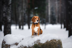 Dog breed Beagle walking in winter, portrait Stock Image