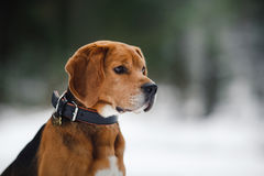 Dog breed Beagle walking in winter, portrait Stock Image