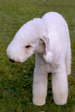 Dog of breed Bedlington  Terrier. Dog of breed Bedlington Terrier on the green grass Royalty Free Stock Images