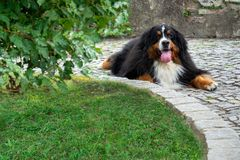 A dog of breed Bern Sennenhund protect the territory of the house. stock photography