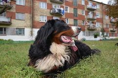 Dog breed Berner Sennenhund. In Ukraine Royalty Free Stock Photography