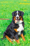 Dog breed Bernese mountain sitting and smiling stock images