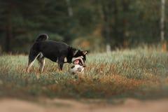 Dog breed black Japanese Shiba. Walking in autumn park Royalty Free Stock Photography