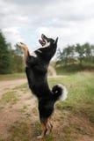 Dog breed black Japanese Shiba. Walking in autumn park Stock Photos