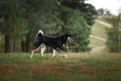 Dog breed black Japanese Shiba Royalty Free Stock Photo