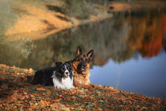 Free Dog Breed Border Collie And German Shepherd Royalty Free Stock Photos - 60460488