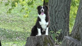 Dog breed Border Collie stock footage