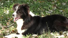 Dog breed Border Collie stock video