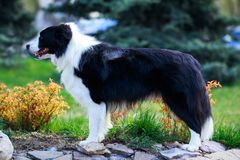 Dog breed Border Collie. Is standing on green grass royalty free stock image