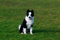 Dog breed Border Collie. Dog collie breed sits on green grass and shows tongue stock images