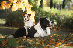 Dog breed Border Collie and Jack Russell Terrier Stock Photos