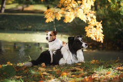Dog breed Border Collie and Jack Russell Terrier royalty free stock image