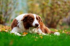 Dog breed Border Collie. Is lying down on green grass stock images