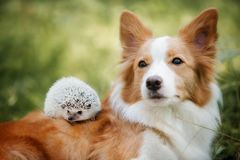Dog breed border collie playing with a hedgehog stock photography