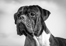 Dog breed boxer, male, boy. Age one year,beautiful portrait in black and white, dirty snout in sand, intelligent,wise,focused look,great against the sky Stock Photo