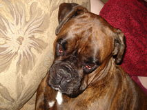 The dog breed boxer Royalty Free Stock Images