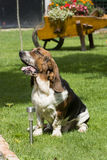 Dog of breed brasilian baset-haund on walk Royalty Free Stock Images