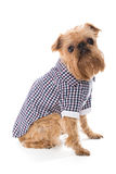 Dog breed Brussels Griffon in checkered shirt Royalty Free Stock Image