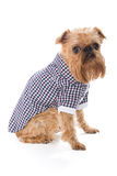Dog breed Brussels Griffon in checkered shirt Royalty Free Stock Images
