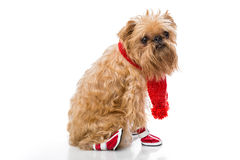 Dog breed Brussels Griffon in a red scarf Royalty Free Stock Images