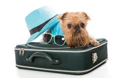 Dog breed Brussels Griffon and a travel suitcase Stock Photos