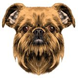Dog breed Brussels Griffon Royalty Free Stock Photography