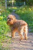 Dog breed Brussels Griffon walks Royalty Free Stock Photo