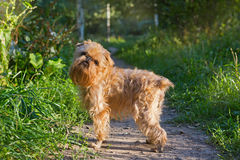 Dog breed Brussels Griffon walks Royalty Free Stock Photos