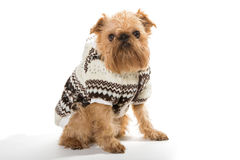 Dog breed Brussels Griffon in a warm jacket Royalty Free Stock Photo