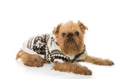 Dog breed Brussels Griffon in a warm jacket Royalty Free Stock Photos