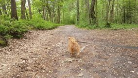 Dog breed Bruxellois Griffon walking in a wood. Dog breed Bruxellois Griffon walking on a leash in the wood stock video