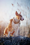 The dog of breed a bull terrier in a checkered scarf Stock Images