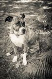 Dog breed Burbul on nature in the park in summer close-up. Black and white old grunge vintage photo.  stock photo