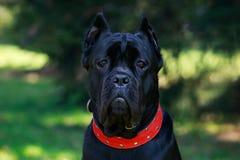 Dog breed cane corso italiano Stock Photography