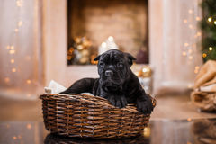 Dog breed Cane Corso puppy Stock Image