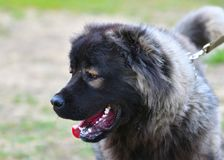 Dog breed Caucasian Shepherd Dog. Stock Photography