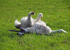Dog of breed a central Asiatic sheep dog  on to the green meadow Royalty Free Stock Photography
