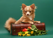 Dog of breed chihuahua. Royalty Free Stock Photography