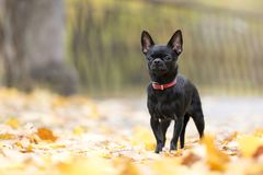 Dog breed Chihuahua. In autumn Park royalty free stock image